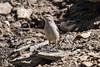 Roc k Wren, Salpinctes obsoletus, La Plata County, Colorado, USA, North America