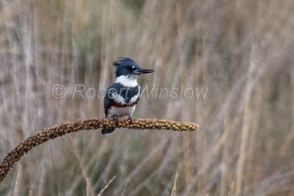 Female, Belted Kingfisher, Megaceryle alcyon, La Plata County, Colorado, USA, North America