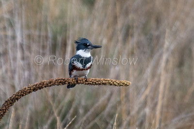 Female, Belted Kingfisher, Megaceryle alcyon, La Plata County, Colorado, USA, North America
