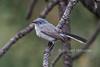Blue-gray Gnatcatcher, Polioptila caerurulea, La Plata County, Colorado, USA, North America