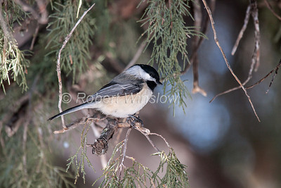 Black-capped Chickadee, Poecile atricapilla, La Plata County, Colorado, USA, North America