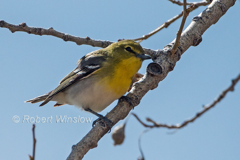Yellow-throated Vireo, Vireo flavifrons, La Plata County, Colorado, USA, North America