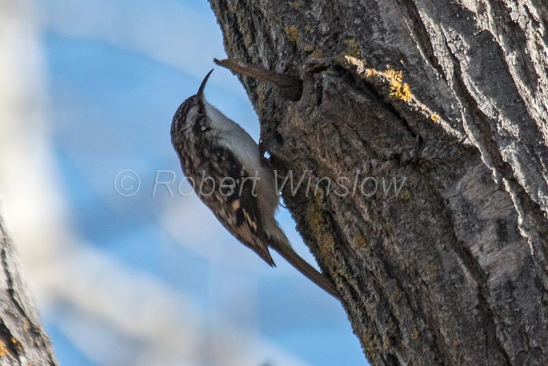Brown Creeper, Certhia americana, La Plata County, Colorado, USA, North America
