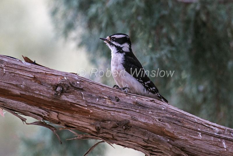 Female, Downy Woodpecker, Picoides pubescens, La Plata County, Colorado, USA, North America