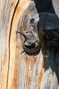 Northern Flicker, Red-shafted, Female, Colaptes auratus, Hole in Tree, La Plata County, Colorado, USA, North America