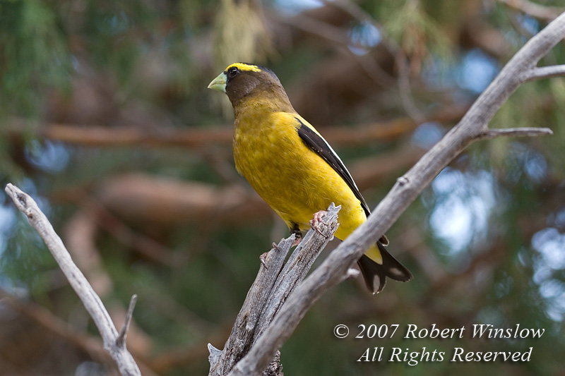 Male Evening Grosbeak, Coccothraustes vespertinus, La Plata County, Colorado, USA, North America, Order PASSERIFORMES, Family FRINGILLIDAE, Subfamily Carduelinae