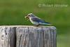 Female, Mountain Bluebird, Sialia currucoides, With a Grasshopper in its Bill,  La Plata County, Colorado, USA, North America