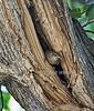 House Wren, Troglodytes aedon, Nesting in Cavity of a Tree, La Plata County, Colorado, USA, North America