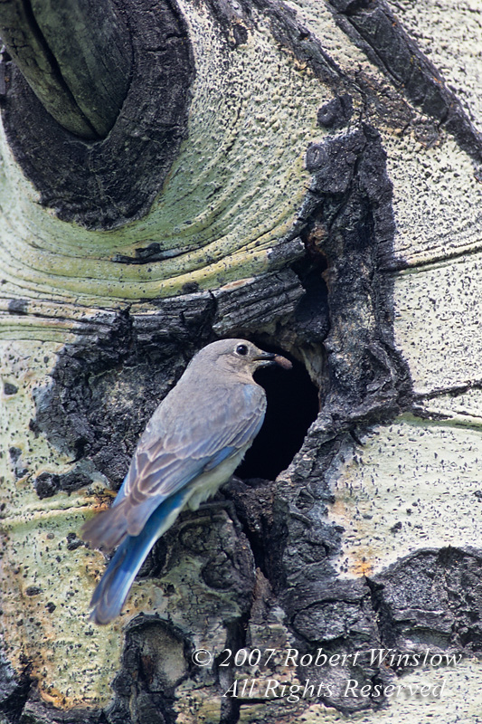 Female Mountain Bluebird, Sialia currucoides, Feeding Young, With Nest in a Hole in an Aspen Tree, Teton National Forest, Wyoming, USA, North America