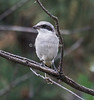 Lofferhead Shrike, Lanius ludovicianus, La Plata County, Colorado, USA, North America