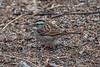 White-throated Sparrow, Zonotrichia albicollis, Bosque del Apache National Wildlife Refuge, New Mexico, USA, North America