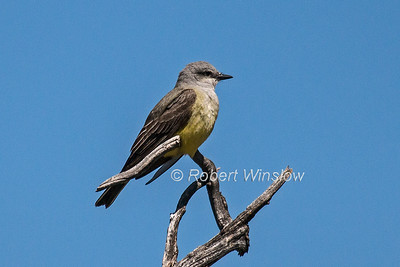 Western Kingbird, Tyrannus verticalis, La Plata County, Colorado, USA, North America