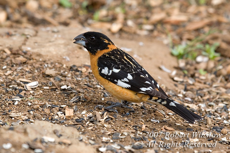 Male Black-headed Grosbeak, Pheucticus melanocephalus,  La Plata County, Colorado, USA, North America, Order Passeriformes, Family Cardinalidae
