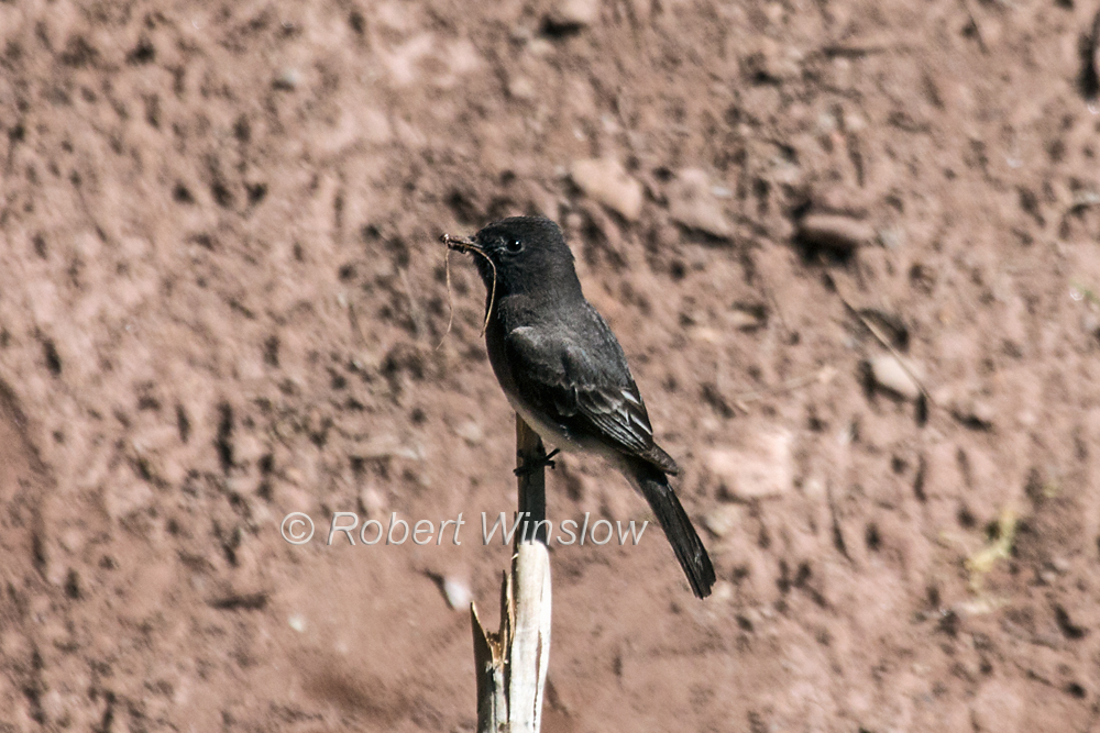 Black Phoebe, Sayornis nigricans, La Plata County, Colorado, USA, North America