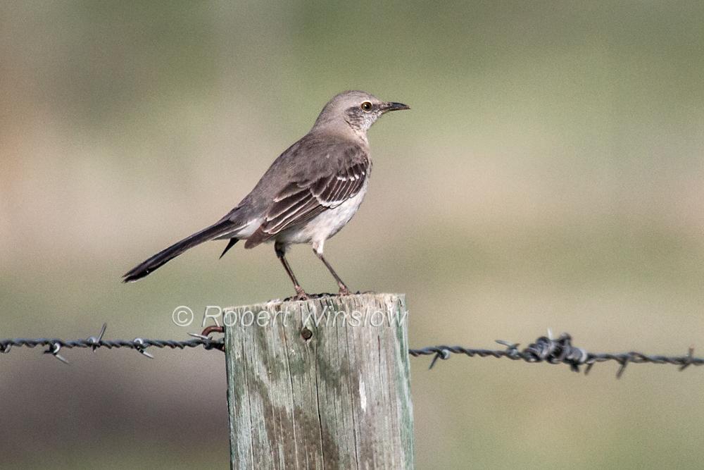 Northern Mockingbird, Mimus polyglottos, La Plata County, Colorado, USA, North America