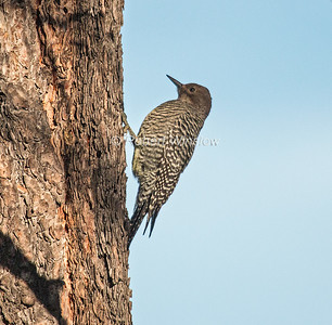 Williamson's Sapsucker, Sphyrapicus thyroideus, La Plata County, Colorado, USA, North America