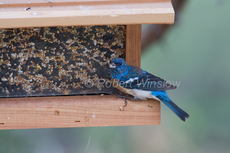 Lazuli Bunting,Passerina amoena, at a Bird Feeder, La Plata County, Colorado, USA, North America