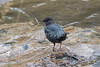 American Dipper, Cinclus mexicanus, Animas River, La Plata County, Colorado, USA, North America