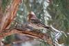 House Finch, Carpodacus mexicanus, La Plata County, Colorado, USA, North America