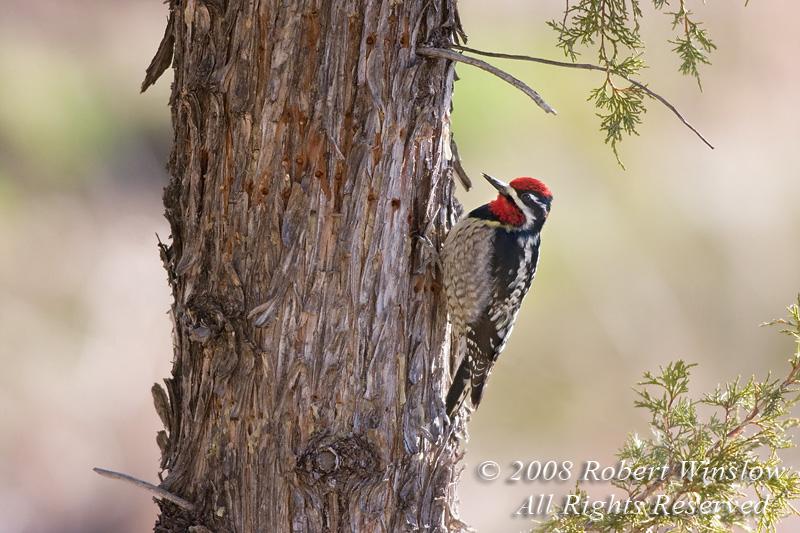 Male, Red-naped Sapsucker, Sphyrapicus nuchalis, La Plata County, Colorado, Order PICIFORMES - Family PICIDAE