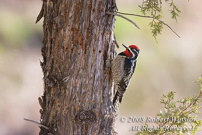 Male, Red-naped Sapsucker, Sphyrapicus nuchalis, La Plata County, Colorado, Order PICIFORMES - Family PICIDAE