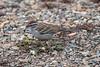 Chipping Sparrow, Spizella passerina, La Plata County, Colorado, USA, North America