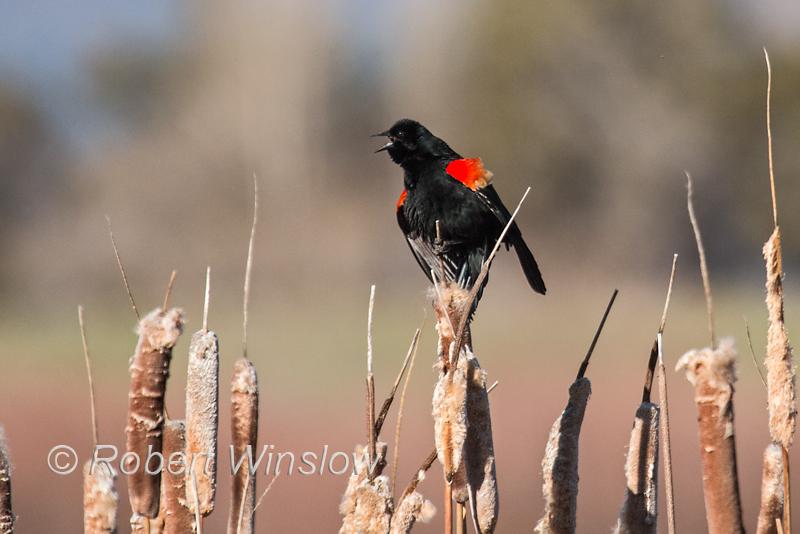 Red-winged Blackbird, Agelaius phoeniceus, La Plata County, Colorado, USA, North America