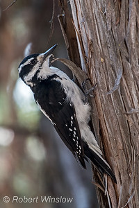 Female, Hairy Woodpecker, Dryobates villosus, La Plata County, Colorado, USA, North America