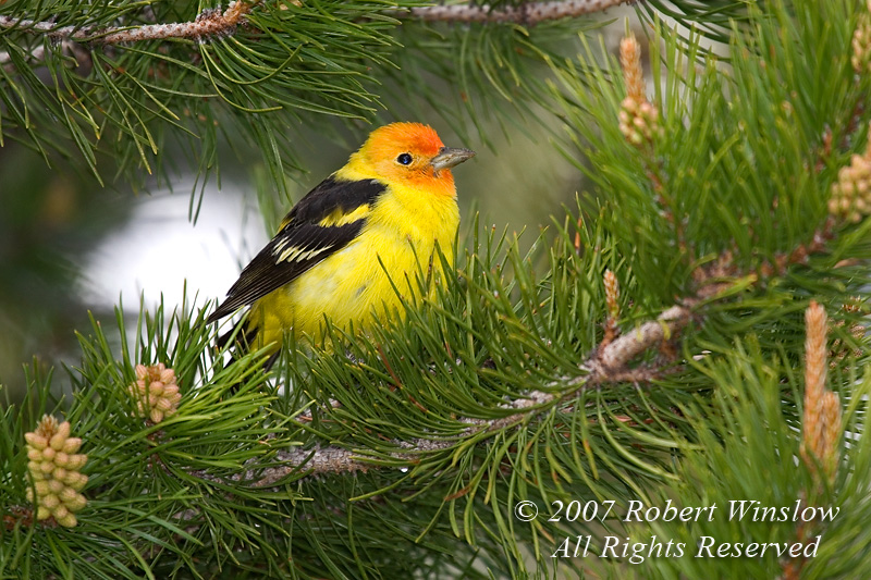 Western Tanager, Piranga ludoviciana, Grand Teton National Park, Wyoming, USA, North America, Passeriformes Order, Thraupidae Family
