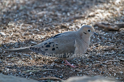 Mourning Dove, Zenaida macroura, La Plata County, Colorado, USA, North America