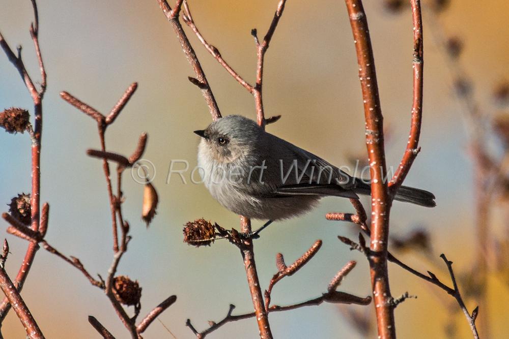 Bushtit, Psaltriparus minimus, La Plata County, Colorado, USA, North America