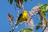 Yellow Warbler, Setophaga petechia, La Plata County, Colorado, USA, North America