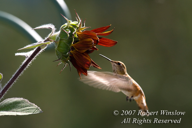 Rufous Hummingbird, Selasphorus fufus, La Plata County, Colorado, USA, North America