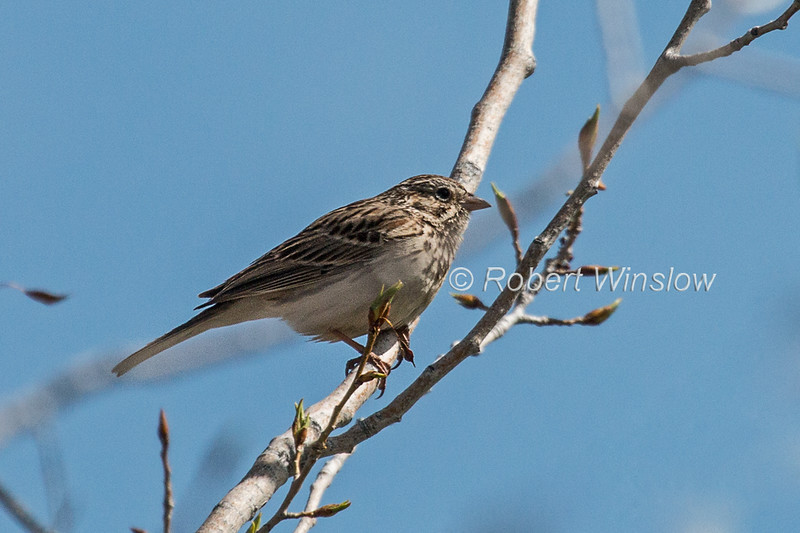 Vesper Sparrow, Pooecetes gramineus, La Plata County, Colorado, USA, North America