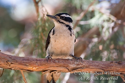 Female Hairy Woodpecker, Picoides villosus, La Plata County, Colorado, USA