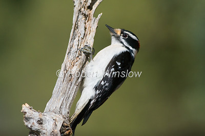 Male, Downy Woodpecker, Picoides pubescens, La Plata County, Colorado, USA