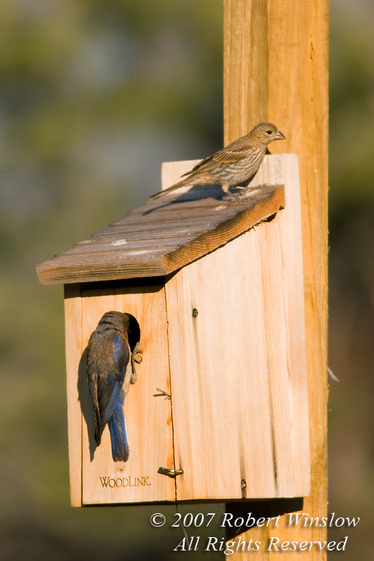 Female Western Bluebird, Sialia mexicana, at nesting box, with an immature brown-headed Cowbird that it raised when a Cowbird laid its eggs in the bluebird nest, La Plata County, Colorado, USA, North America