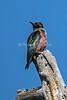 Lewis's woodpecker, Melanerpes lewis, La Plata County, Colorado, USA, North America