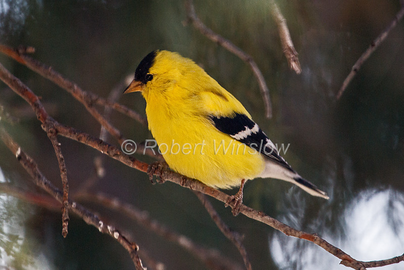 American Goldfinch, Carduelis tristis, Male, La Plata County, Colorado, USA, North America