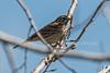 Vesper Sparrow, Pooecetes gramineus, La Plata County, Colorado, USA, North America
