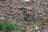Gray-headed Junco, Dark-eyed Junco, Junco hyemalis, La Plata County, Colorado, USA, North America