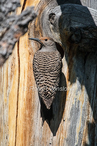 Northern Flicker, Red-shafted,