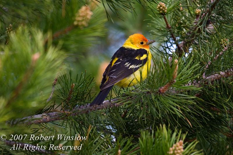 Western Tanager, Piranga ludoviciana, Grand Teton National Park, Wyoming, USA, North America, Passeriformes Order, Thraupidae Family