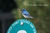 Male, Mountain Bluebird, Sialia currucoides, With a Grasshopper in its Bill,  La Plata County, Colorado, USA, North America