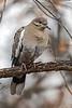 White-winged Dove, Zenaida asiatica, Bosque del Apache National Wildlife Refuge, New Mexico, USA, North America