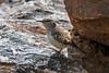 Rock Wren, Salpinctes obsoletus, La Plata County, Colorado, USA, North America