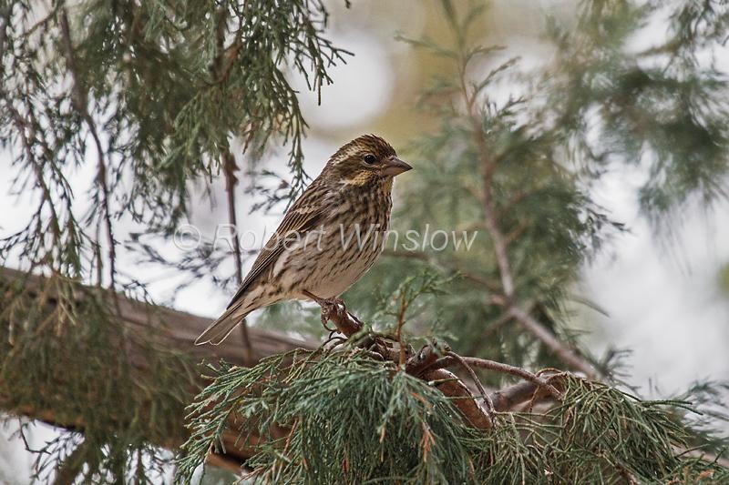 Female, Cassin's Finch, Carpodacus cassinii, or Haemorhous cassinii, La Plata County, Colorado, USA, North America
