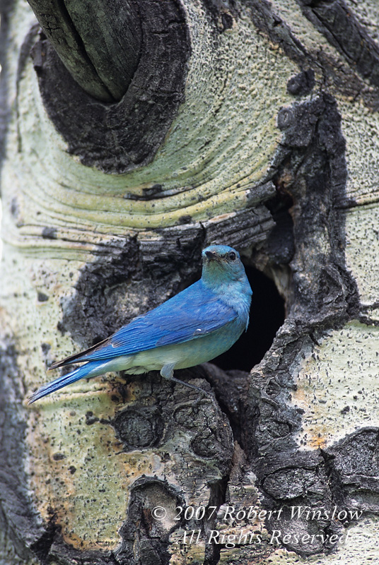 Male Mountain Bluebird, Sialia currucoides, With Nest in a Hole in an Aspen Tree, Teton National Forest, Wyoming, USA, North America