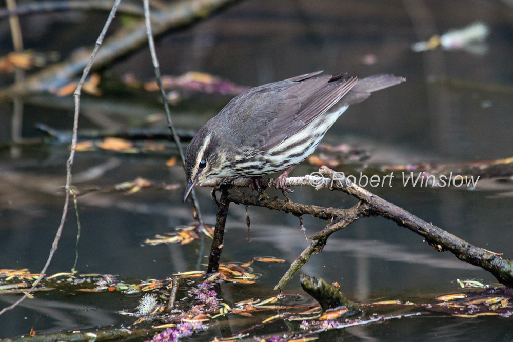 Northern Waterthrush, Parkesia noveboracensis, La Plata County, Colorado, USA, North America