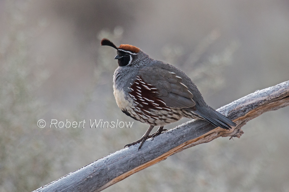 Gambel's Quail, Callipepla gambelii, Bosque del Apache National Wildllife Refuge, New Mexico, USA, North America
